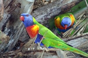 Rainbow Lorikeets on Burliegh Head Beach