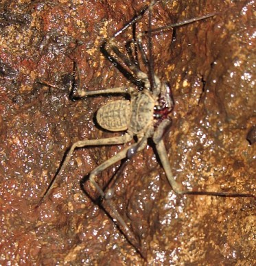 The infamous scorpion spider, found in a cave near Masaya, Nicaragua