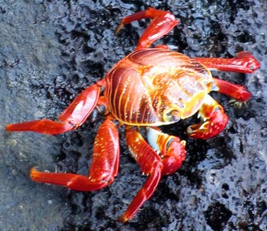 Anywhere you find volcanic rock by the seashore, you'll find these little red, orange and yellow crabs.