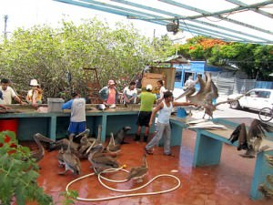 Downtown Puerto Ayora: Seals and pelicans at the fishermen's cleaning station